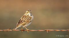 Savannah Sparrow (Bob Gunderson) Tags: sparrows birds savannahsparrow coyotevalley santaclaracounty depthoffield