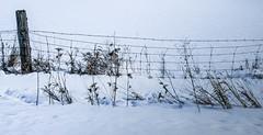 Weeds in winter... (Kat Hatt) Tags: cy2