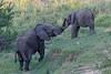 African elephant - Eléphant d'Afrique (happybirds.ch) Tags: afriquedusud africa south kruger national park knp wild sauvage nature happybirds mammal mammifère elephant big 5 bigfive big5 playing jouer jeux games ngc