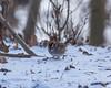 Winter Foraging (Chris Denny/dennyc69) Tags: outdoor foraging winter birds snow