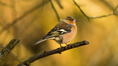 Chaffinch (Andrew-Jackson) Tags: birds wildlife nature chaffinch