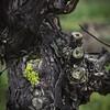 Knorzen mit gelber Flechte quadrat (LoggeJo) Tags: weinberg vineyard rebe flechte gelb grün