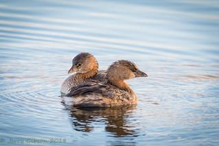 Sweetwater Wetlands Pied-billed Grebe pair 01-08-2018