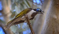 in the red river gums - blue-faced honeyeater #1 (Fat Burns ☮ (on/off)) Tags: bluefacedhoneyeater entomyzoncyanotis bird australianbird fauna australianfauna nikond500 sigma150600mmf563dgoshsmsports barcaldinehoneyeaternatureoutdoors