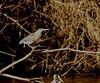 Striated Heron (helmutnc) Tags: hennysanimals hg specanimal sweetfreedom