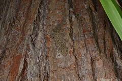 Broad-tailed Gecko (Phyllurus platurus) (shaneblackfnq) Tags: broadtailed gecko phyllurus platurus shaneblack lizard reptile broad tail watagans nsw new south wales australia