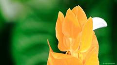 Lollipop Flower (dpsager) Tags: chicago dpsagerphotography flower lincolnpark lollipopflower pachystachyslutea lincolnparkconservatory