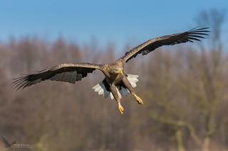 Bielik, White-tailed Eagle (Haliaeetus albicilla) ...