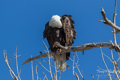 Preening Bald Eagle