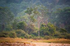 Jungle Breathing Pre-Dawn (fate atc) Tags: corbettnationalpark dhela india uttarakhand deerhidden earlymorning forest jungle mist predawn riverbed still telephoto trees