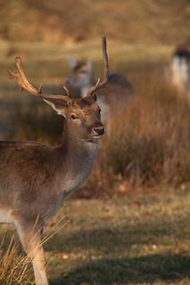 Knole Deer  - Kent