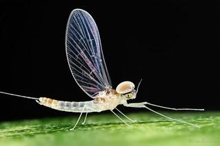 Mayfly Baetidae ♂ (Ephemeroptera)
