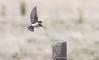 Welcome Swallow (Helen Cunningham) Tags: welcomeswallow tasmania nikkorafs200500mm d500