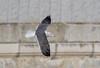 Gaviota en vuelo (pedro_morenofernandez) Tags: gaviotas laridae nationalgeographic aves birds