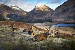 oh deer! (Ela Dzimitko) Tags: deer stag glenetive etive mountains winter autumn lazy scottish scotland hills outdoor wildlife ani antlers eladzimitko