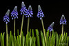 Muscari Mil garden (Magda Banach) Tags: 80d canon muscarimill blackbackground blue colors drops flora green macro nature plants szafirki sigma150mmf28apomacrodghsm