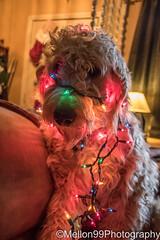 Still in the Christmas Spirit (Mellon 99) Tags: mellon99photography christmas delaware davemellon mason golden goldendoodle dog doodle canine pets pet