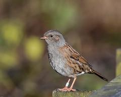 Dunnock Silverdale RSPB F00086 D210bob DSC_8336 (D210bob) Tags: dunnock silverdale rspb f00086 d210bob dsc8336 nikond7200 wildlifephotography birdphotography nikon naturephotography nikon200500f56 lancashire leightonmoss