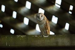 Barn Owl Atmospherics (CraigGoodwin2) Tags: barnowl barn