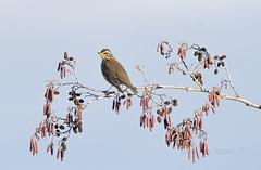 turdus iliacus (Josep M.Toset) Tags: animalia aus chordata catalunya arbres passeriformes josepmtoset d500 nikon ocells turdidae tordcellard altcamp sigma150600mmf563sports