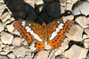 Commander - Moduza procris (Roger Wasley) Tags: commander moduzaprocris nameri nationalpark india butterfly butterflies asia indian insect