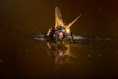 Entomophtora muscae (fly parasitic fungus) (Javier Ábalos) Tags: fly housefly mosca insecto insect diptera fungus zombi zombify mindcontrol mind hyphae mycellium entomophtora muscae window parasite last us