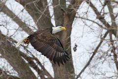 IMG_7891 american bald eagle (starc283) Tags: wildlife raptor starc283 flickr flicker canon canon7d bird birding birds eagle baldeagle americanbaldeagle outdoors outdoor nature naturesfinest naturewatcher