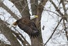 IMG_7891 american bald eagle (starc283) Tags: wildlife raptor starc283 flickr flicker canon canon7d bird birding birds eagle baldeagle americanbaldeagle outdoors outdoor nature naturesfinest naturewatcher