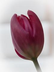 365-37 tulip