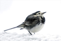 Pied Wagtail (Skyline:)) Tags: fauna 7dwf bird feathers tail cute animal wildlife nature smile garden