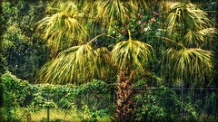 My Palm- Happy Fence Friday! (Chris C. Crowley- Busy for a week or two!) Tags: mypalm palmtree windmillpalmtree botanical nature foliage tree fence hff rain fronds ivy plants flowers