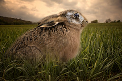 Hare (brian_stoddart) Tags: wildlife animals landscape countryside sky furry wild hare composite