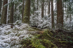 Forest in Three Shades (writing with light 2422 (Not Pro)) Tags: skookumflats snoqualmienationalforest washingtonstate forest trees pine firtrees moss snow richborder sonya7 hiking outdoors landscape