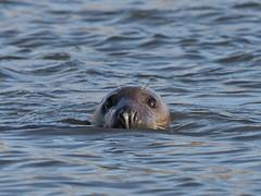 M2173864 E-M1ii 300mm iso200 f5.6 1_800s SingleAF (Mel Stephens) Tags: 20180217 201802 2018 q1 4x3 wide uk scotland aberdeenshire olympus mzuiko mft microfourthirds m43 300mm pro omd em1ii ii mirrorless coast coastal animal animals seal water seals wildlife nature newburgh river ythan