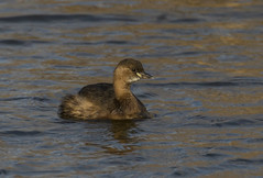 Little Grebe (Steve Ashton Wildlife Images) Tags: tachybaptus ruficollis tachybaptusruficollis little grebe littlegrebe dabchick grove ferry groveferry stodmarsh feast hide feasthide