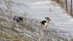 DSC07953 (RCB4J) Tags: ayrshire jakob rcb4j ronniebarron scotland sonyslta77v art babygrace dobermanterrier dogs photography siameselurcher snow trailhound winter running playing sonydt18250mmf3563