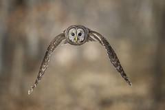 Head On!!!... (DTT67) Tags: barredowl owl flight raptor bird birdofprey wildlife nature canon 1dxmkii 500mmii 14xtciii
