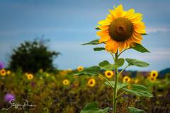 Sunflower (svpe4711) Tags: sonnenblume d750 landscape flowers nature flower germany blume sunflower natur bluesky farmland summer blumen blue helianthusannuus blauerhimmel landschaft blumenwiese blau sky farm gelb yellow sommer field