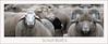 KUS850-0349 (Weinstöckle) Tags: schaf schafherde landwirtschaft tier