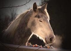 Blowing off steam (Patricia McAtee - Photos of Maine) Tags: horse horsefarm cold snow snowscene farming farmanimals rural