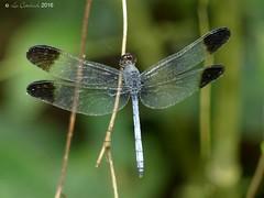 Uracis imbuta - male (LPJC) Tags: villacarmen manu peru 2016 lpjc dragonfly uracisimbuta