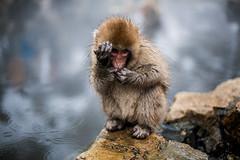 Come On! (moaan) Tags: yamanouchi nagano japan monkey snowmonkey japanesemacaque babysnowmonkey gesture onsen hotsprings jigokudani jigokudanispa jigokudanisnowmonkeypark canoneos5dmarkiii ef50mmf14usm 50mm f114 utata 2018 dof depthoffield bokeh bokehphotography