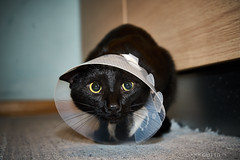 Nighiri operato (DavidGutta) Tags: nighiri gatto nero black cat surgery collare pietà