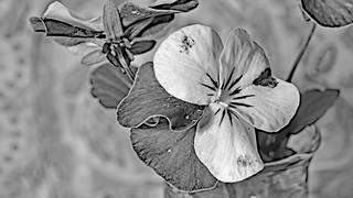 Viola cornuta  -  Hornveilchen