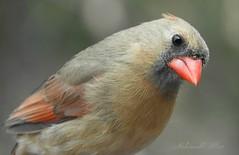 """What do you mean """"contact"""" ? (NaturewithMar) Tags: 7dwf crazytuesdays theme contact northern cardinal female bird macro closeup"""