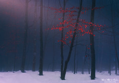 Fragility (Mimadeo) Tags: red winter snow leaf season nature tree autumn forest weather white landscape bright environment day beautiful beauty background natural november fall colorful cold color light wood sunlight sunshine vivid scenery trunk moody mood atmosphere atmospheric sunrays sunbeams
