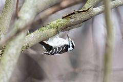 arcadia2018-100 (gtxjimmy) Tags: nikond7200 nikon d7200 tamron 150600mm bird new england arcadia wildlife sanctuary audubon society mass audubbon massachusettseasthamptonbird woodpecker hairywoodpecker