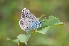 Bläuling#04 (Marcus Hellwig) Tags: farfalla falter mariposa butterfly papillon bläuling natur nature natura naturalleza naturo naturaufnahme naturfoto nahaufnahme