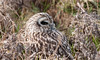 Short-eared Owl (sparrowhawk143) Tags: infocus highquality