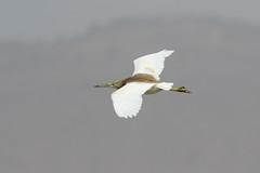 Indian Pond Heron at Taqah S24A5463 (grebberg) Tags: indianpondheron ardeolagrayii ardeola heron bird taqah dhofar oman december 2017